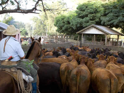 Vaccination campaign against FMD, Province of Buenos Aires